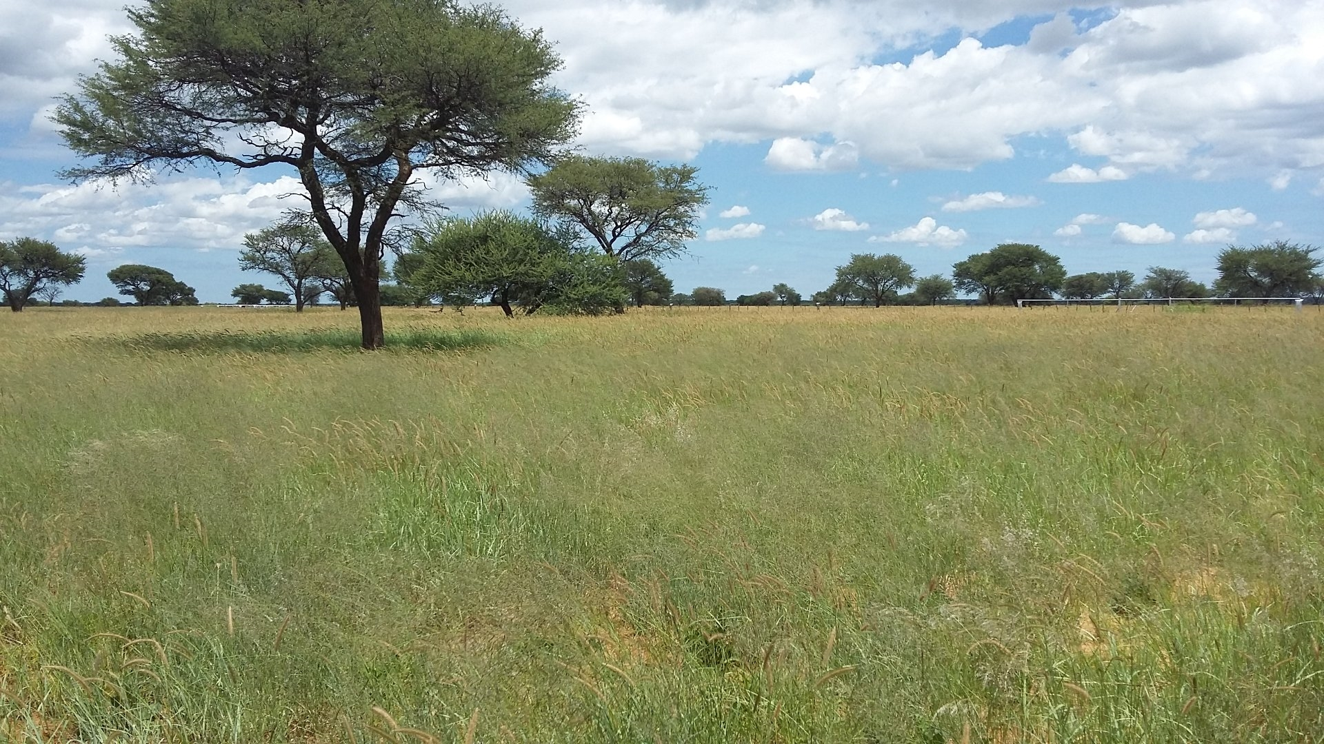 Bloubuffel cultivated pastures