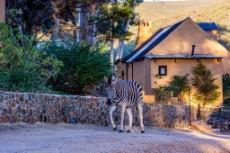 The tame Zebra from next door sometimes wanders in