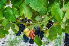 Shiraz grapes almost ready to harvest from the 3 year old vines