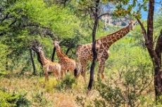 Giraffe in excess of 130