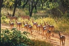 Impala in excess of 1500