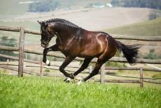Gledsmuir Stallion - Casimir